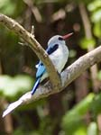 Mangrove Kingfisher