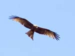 A Fish Eagle - Naminya