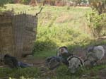 Turkeys - Kitgum