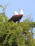 Fish Eagles - Kazinga Channel