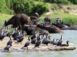 Buffalo and Cormorants - Kazinga Channel
