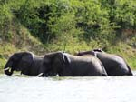 Elephants - Kazinga Channel