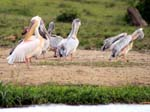 Pelicans - Kazinga Channel