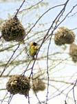 Weaver Bird nests - Ishasha