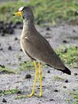 Yellow-legged Lapwing - Mburo