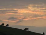 Cow, Sunset