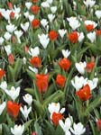Tulips and Crocuses