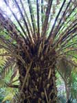 Tree Fern (Dicksonia Antarctica)