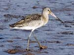 Greenshank Probably