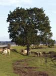 Cows Powderham Riverside