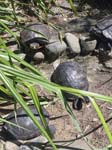 Yellow Eared Terrapins