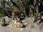 Picnic Time for Barbary Macaques