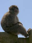 Barbary Macaque Signal Hill