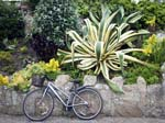 Agave americana 'Marginata' and a  Bicycle