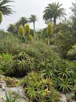 Chilean Puya and Palms