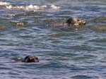 Grey Seals (Halichoerus grypus)