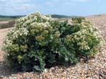 Sea Kale - Abbotsbury Beach
