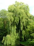 A Willow