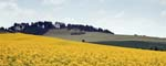 Oil-seed Rape Pentridge