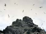 Gannets - Small Skellig