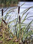 Greater Reed Mace
