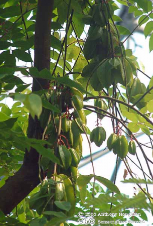 Eden Project,Star Fruit,Plant