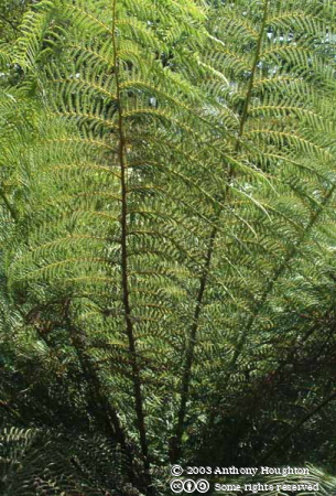 Heligan,Lost Gardens,Tree Fern