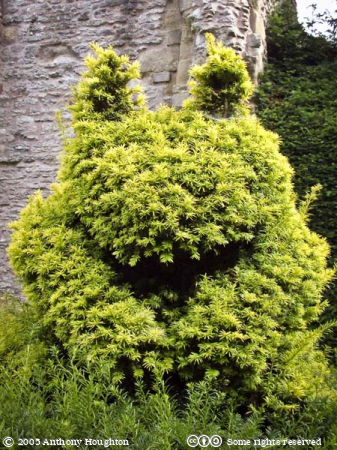 Much Wenlock Priory,Topiary