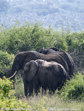 Elephants,Mweya,QENP,Queen Elizabeth National Park