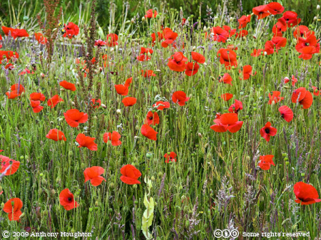 Poppies,Flowers