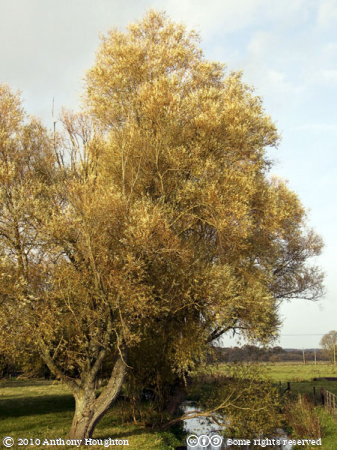 Willows,Harbridge,Trees