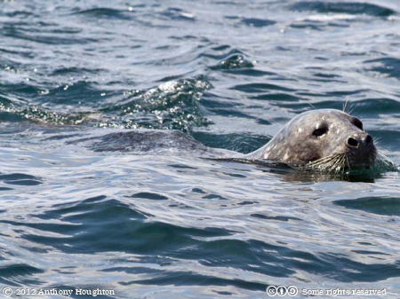 Grey Seal,Halichoerus grypus,Northern Rocks