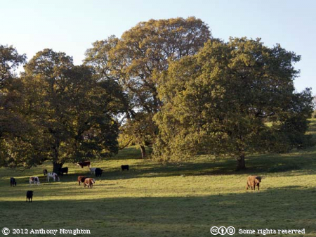 Cows,Higher Whatcombe,Trees,Oaks