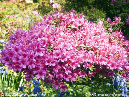Pink Rhododendron,Kingston Lacy,Garden,Flowers