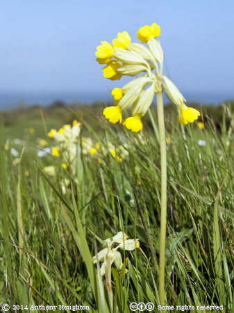 Cowslips,Flower