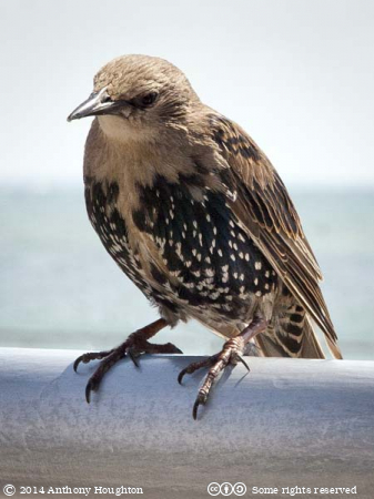 Young Starling,Sturnus vulgaris,Mudeford,Bird