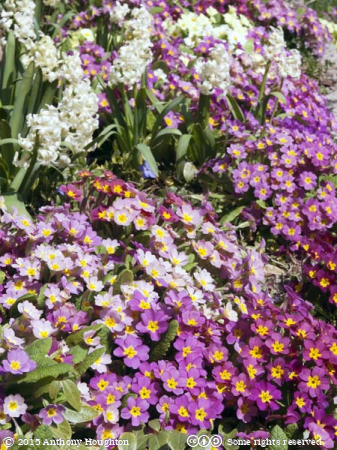 Primula,Houghton Lodge,Stockbridge,Flowers