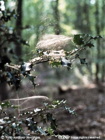 Spider,Web,Cobweb,Holly