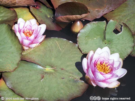 Flowers,Water Lilies,Nymphaea